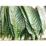 びわの葉(30枚入り)無農薬・九州産